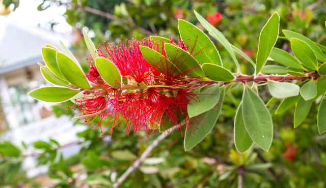 wallum bottlebrush