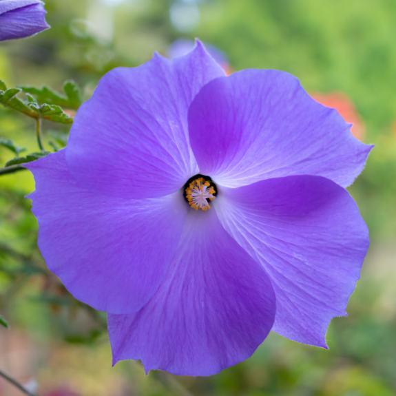 [Hibiscus] Alyogyne huegelii