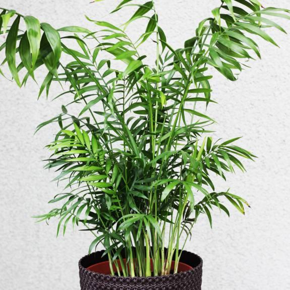 [Palm Trees] Parlour