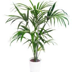 [Palm Trees] Kentia