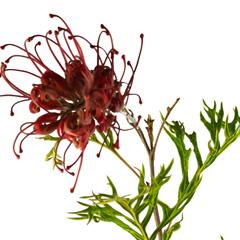 [Native Plants] Grevillea
