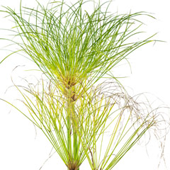 [Water plants] Cyperus Papyrus