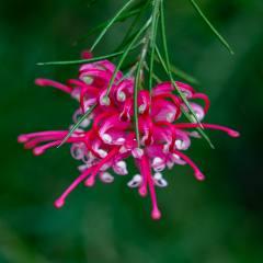 [Grevilleas] Grevillea rosmarinifolia