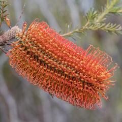 [Banksia] Banksia Little Eric