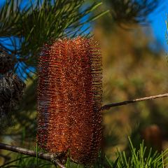 [Banksia] Banksia Red Rover