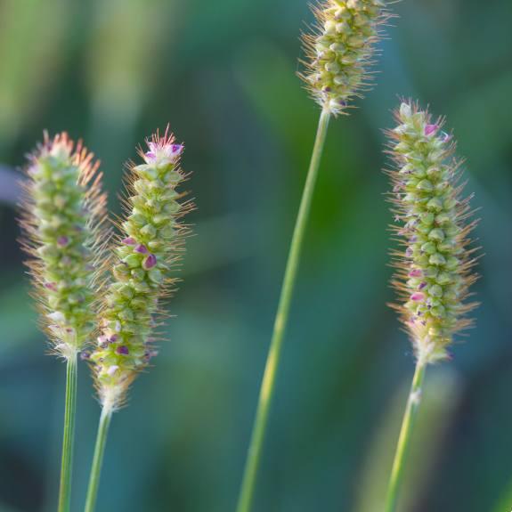 [Ornamental Grasses] Foxtail Grass