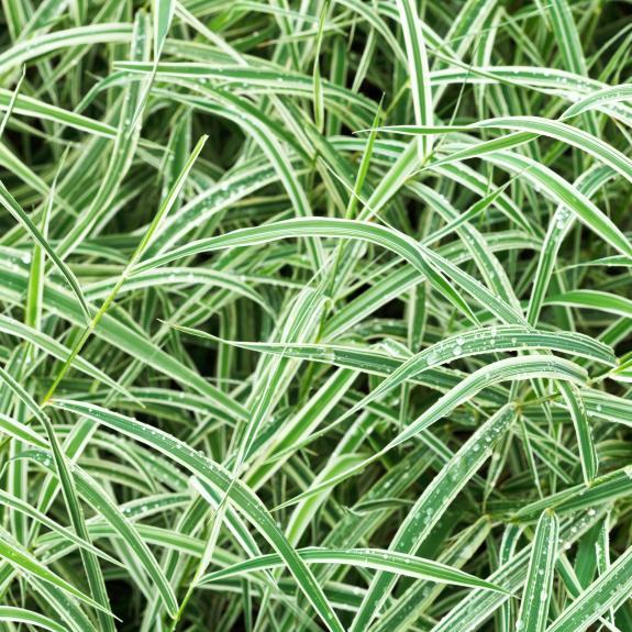 [Ornamental Grasses] Carex Grass (Assorted)