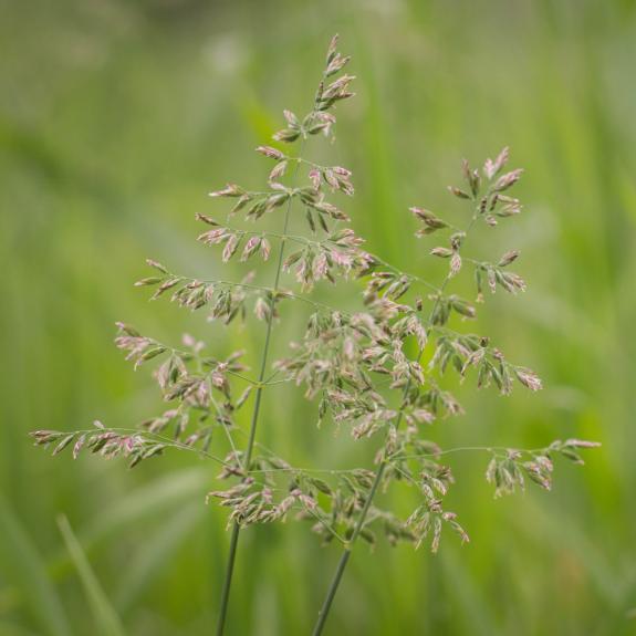 [Ornamental Grasses] Poa Grass (Assorted)