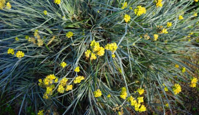 Conostylis grass