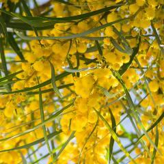 [Wattle] Golden wattle