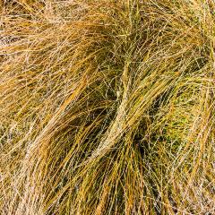 [Exotic Grasses] Carex Testacea