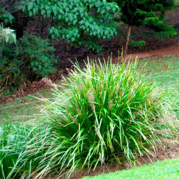 [Drought tolerant grasses] Lomandra Tanika