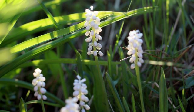 Liriope Monroe White grass