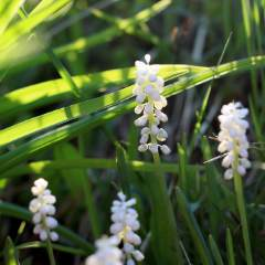 [Shade grasses] Liriope Monroe White