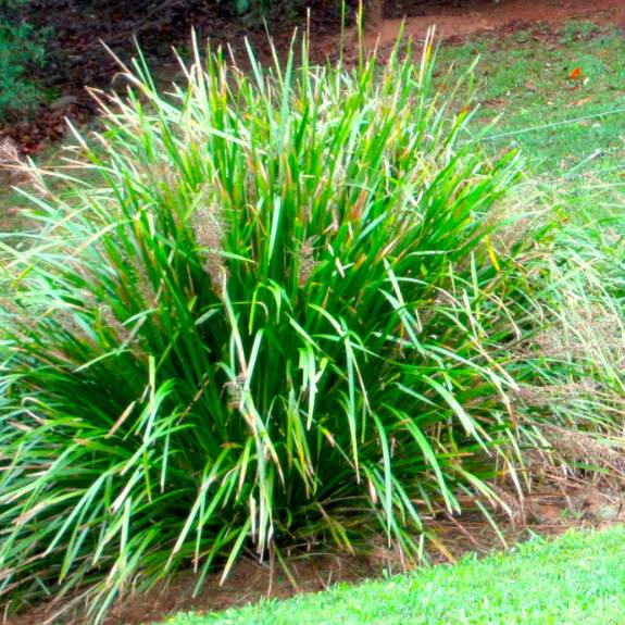 [Shade grasses] Lomandra Lime Grass