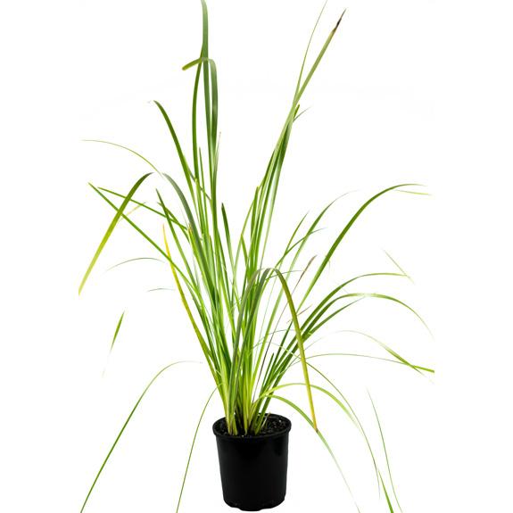 [Native Grasses] Lomandra longifolia