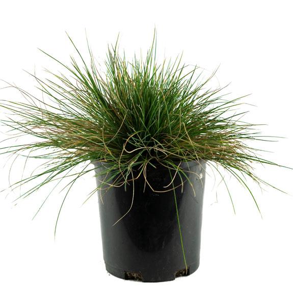[Ground Cover Grasses] Festuca glauca
