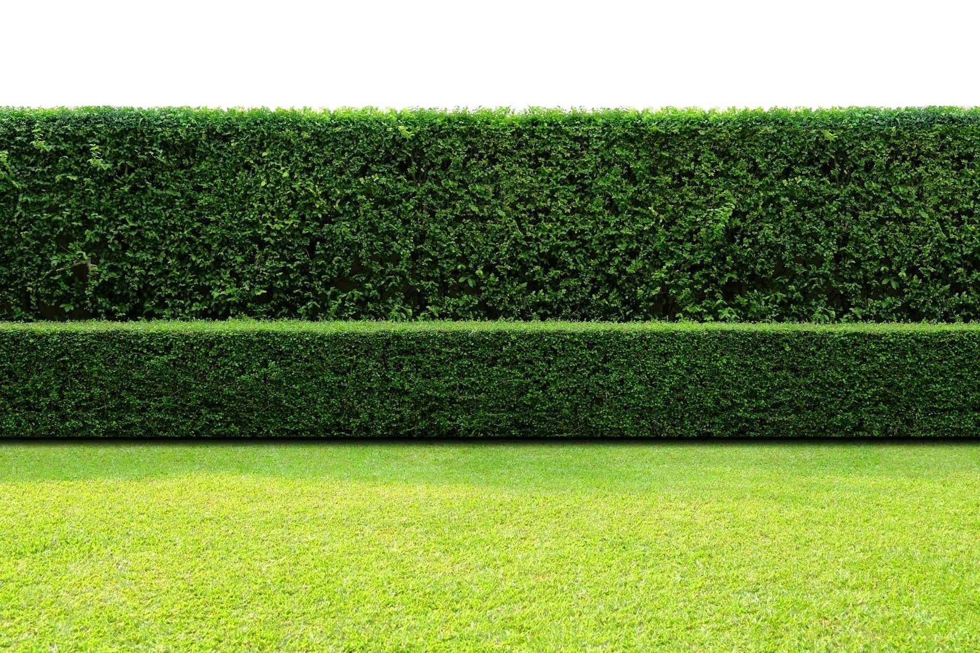 hedging plant