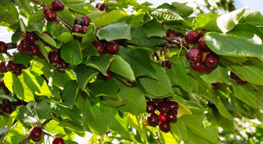 when plant fruit tress in Australia