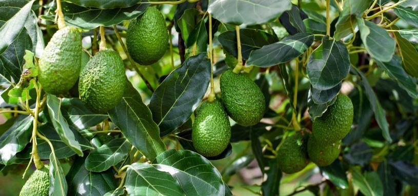 avocados tree