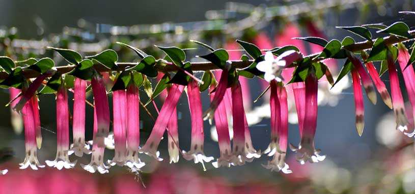 Pink Heath (Epacris impressa)