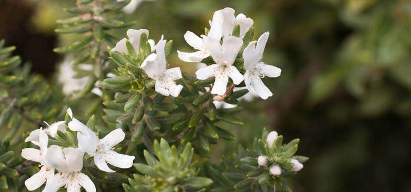 Australian native rosemary