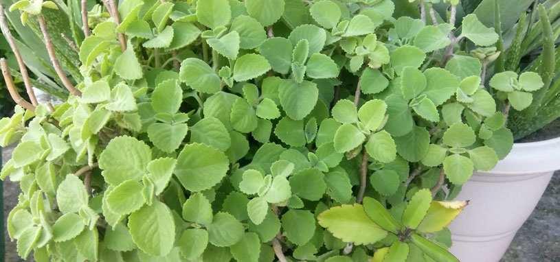 shade tolerant silver spurflower