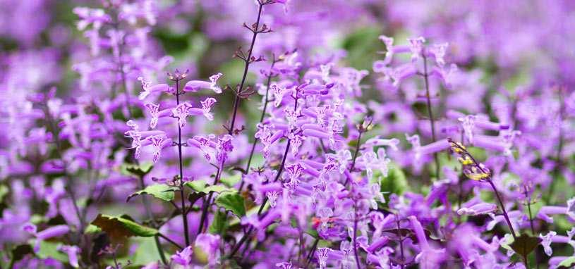 Shade tolerant mona lavender