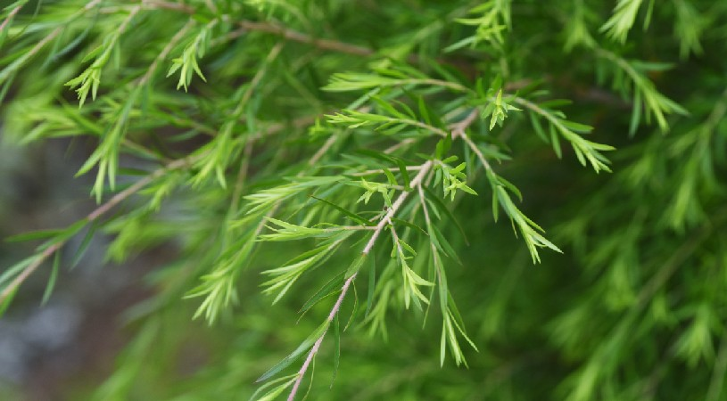 The Australian tea tree plant which can be used as a tea substitute