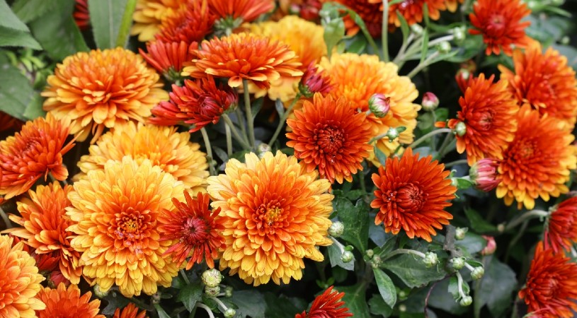 Chrysanthemum is hard to spell and easy to grow
