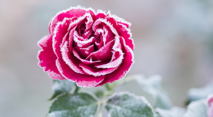 rose in the snow, because different flowers need different times of year to thrive