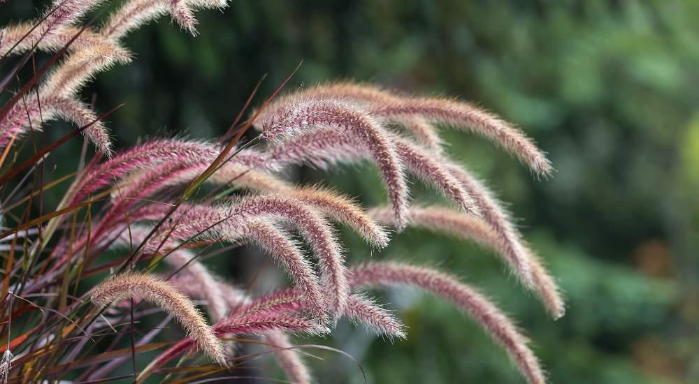 plant fountain grass