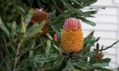 banksia shrub