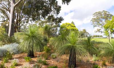 Xanthorrhoea grass trees