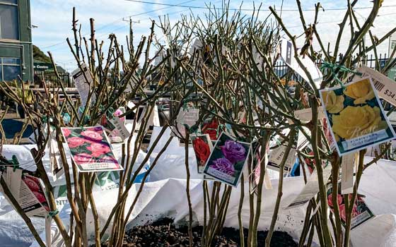 Just Landed: Bareroot Fruit Trees & Roses!