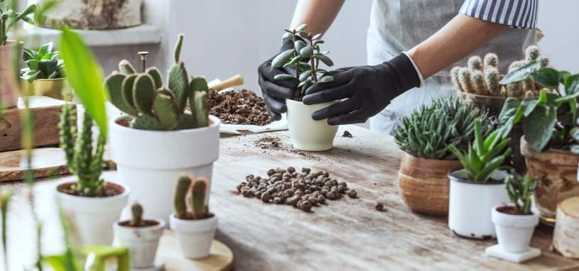 Woman transplanting succulents in cement pots
