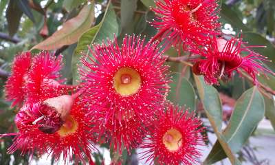 Flowering gum Corymbia ficifolia