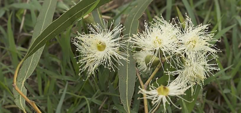 Scentuous Corymbia citriodora
