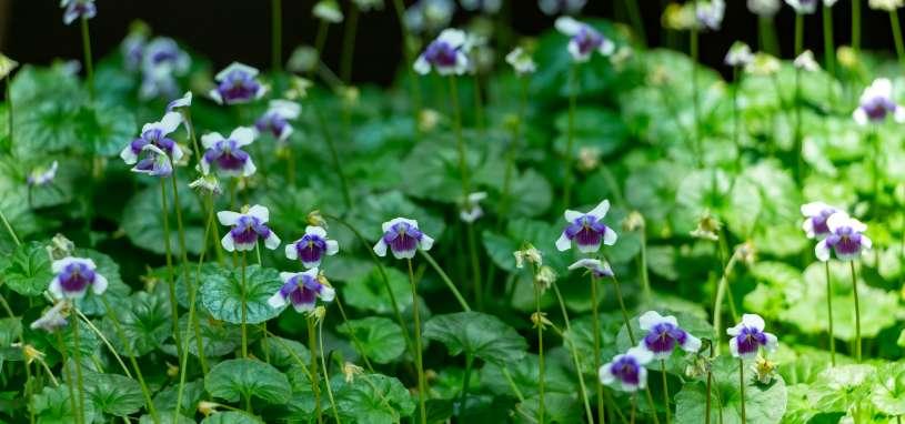 australian violet
