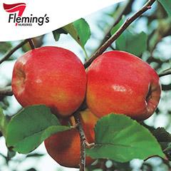 [Bare root trees] Dwarf Apple