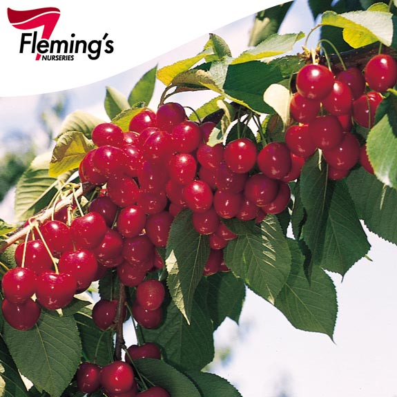 [Bare root trees] Cherry