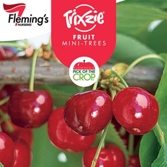 [Bare root trees] Miniature Cherry