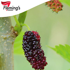 [Bare root trees] Mulberry