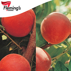 [Bare root trees] 2 Way Peach