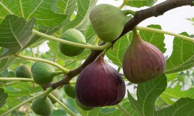 figs on a tree branch