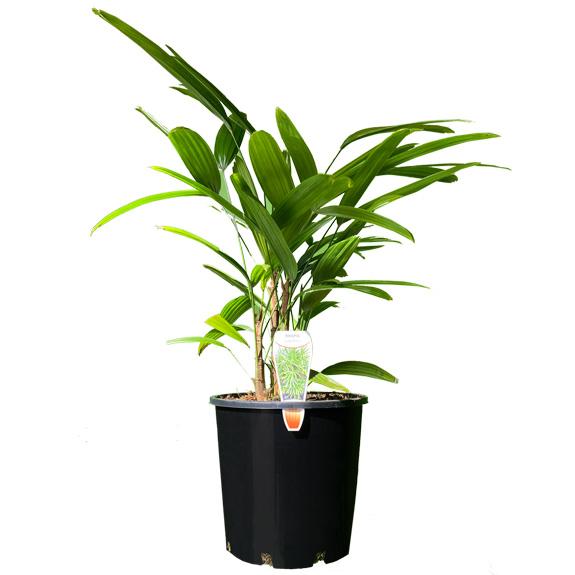 [Palm Trees] Lady Palm