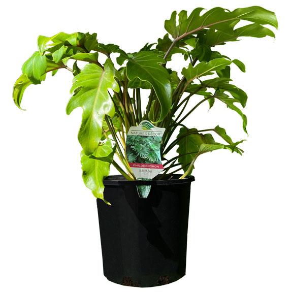 [Indoor plants] Philodendron Xanadu