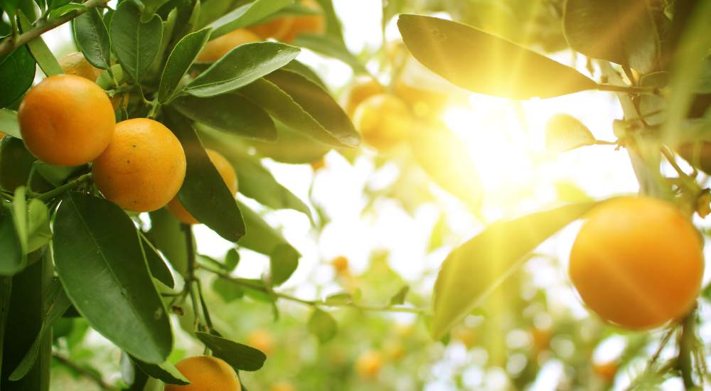 orange tree in summer