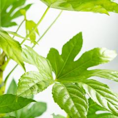 [Indoor plants] Fatsia japonica