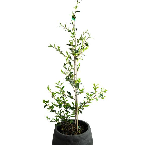 [Exotic Shrubs] Camellia sasanqua